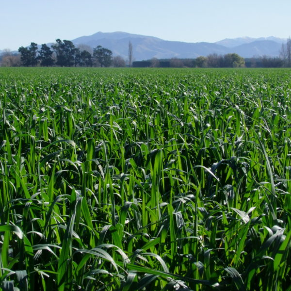 Maxum Oats and NZ ryegrass are sold with Dynastrike treatment at Wesco Seeds
